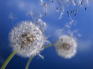 regrat-cvetovi