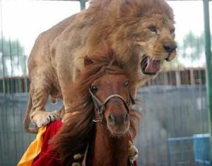 lev-konj