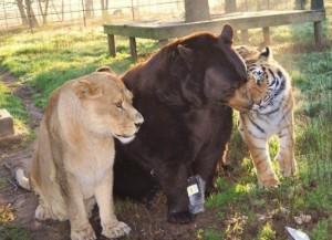 medved-tiger