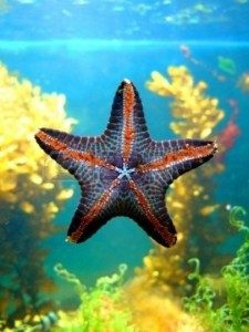 morska-zvezda