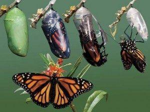 preobrazba-metulj